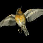"Jay Ruland - ""Bird"", 2015"